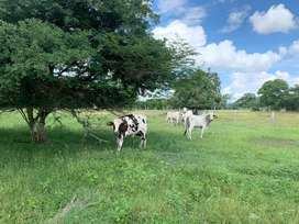 Venta de ganado becerros destetos