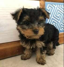 Hermosos mini yorkis terrier