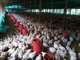 Venta de  pollos