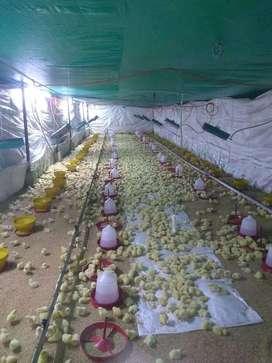 Venta de pollitos bebes cobb500