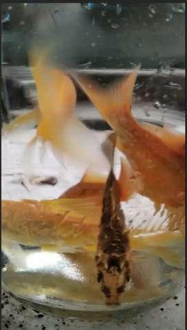 Peces Carpa koi , son surtidas de los colore de la fotos