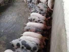 Lechones, carne de cerdo