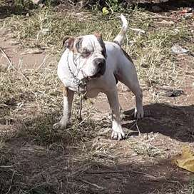 American Bully disponible a montas