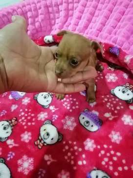 Se vende linda perrita pincher miniatura hembra