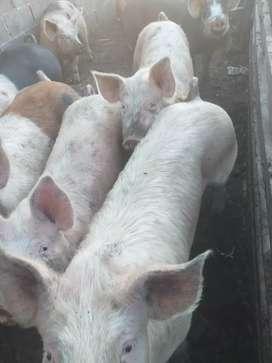 Venta de cerdos ( capones )