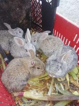 Hermosos conejos ideales como mascota