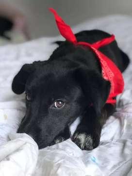 Linda perrita raza labrador, edad 4meses en adopcion