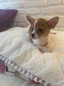 Chihuahua macho minitoy