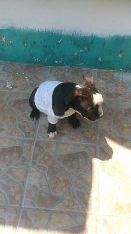 American bully pocket