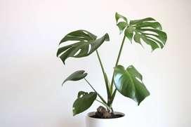 Plantas de interior Costilla de adan