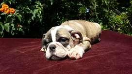 Hembrita Bulldog Ingles