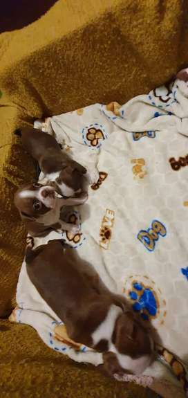 Cachorritas boston terrier Rojas