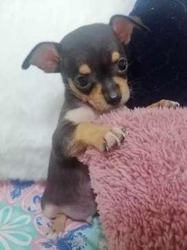 Se vende cachorro Chihuahua machos