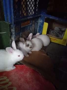 Vendo conejos seleccionados