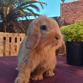 Conejos orejas caídas y mini cabeza de leon