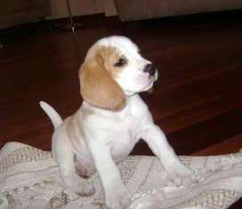 CACHORRA BEAGLES LIMON