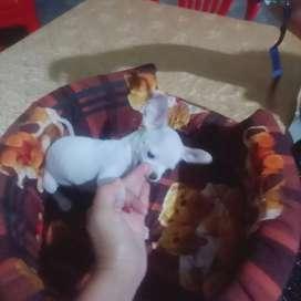 Vendo perrito chiguahua macho