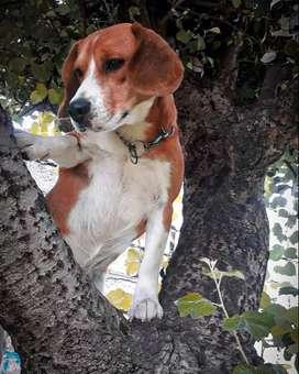 Perro beagle de un año y medio disponible para montas