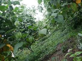 Venta de uchuva uvilla fresca y de Gran Calidad
