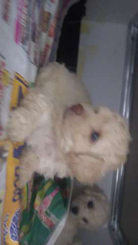 French poodle pequeño