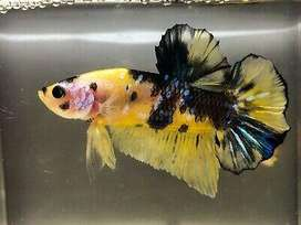 Peces Betta Yellow Koi