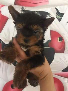 Amorosos yorkshire terrier diminutos