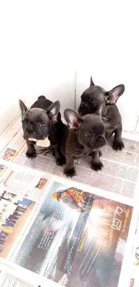 Cachorros bulldog france blue triple carrier