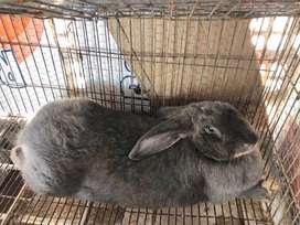Venta de conejos Gigates y Rex