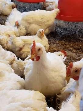 Pollos broiler en Pie o Pelados 100% de Calidad