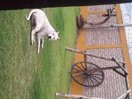 Dogo argentino hembra para servicio