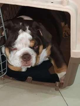Bulldog para monta