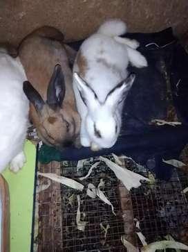 Conejos_mascotas
