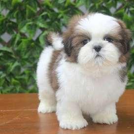maravillosas mascotas shitzu 56 dias tiernos