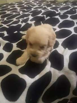 Cachorro raza french