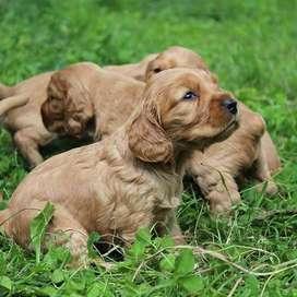 lindos cocker amistosos caninos de 55 dias