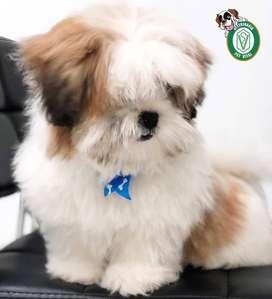 cachorros shitzu,golden,sharpei,maltes,pug,labrador,salchicha,bull terrier,beagle,poodle,chihuahua en Pet Vital