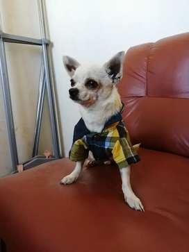 Chihuahua servicio de monta
