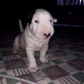 Cachorros bull terrier últimos ejemplares disponibles