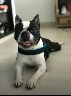 BOSTON TERRIER PARA MONTA