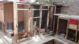 Gallinas ponedoras y criollas. Gallos criollos. Pollitos Machos y Hembras