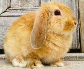 Conejos de Orejas Caidas