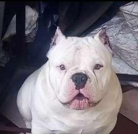 Hermosos pitbull bully mini