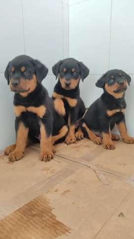 Divertidos Rottweiler