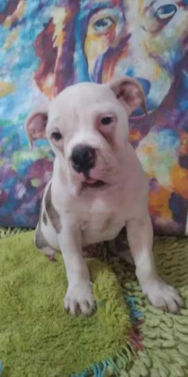 Bulldog ingles macho 3 meses