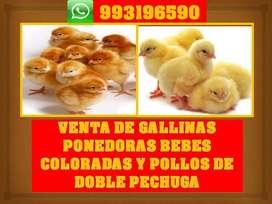 Venta de pollitos bebes de engorde cobb 500, gallinas ponedoras coloradas
