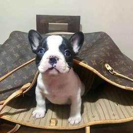 bulldog frances de 55 dias, caninos garantizados