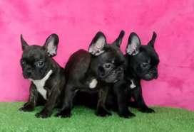 Hermosos cachorritos bulldog franses machos de 50 días