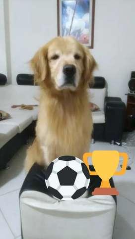 Perro golden retriver  para monta