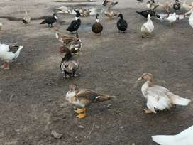 Venta de Patos criollos