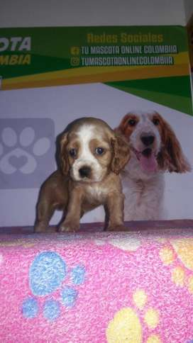 Disponibilidad Cocker Spaniel